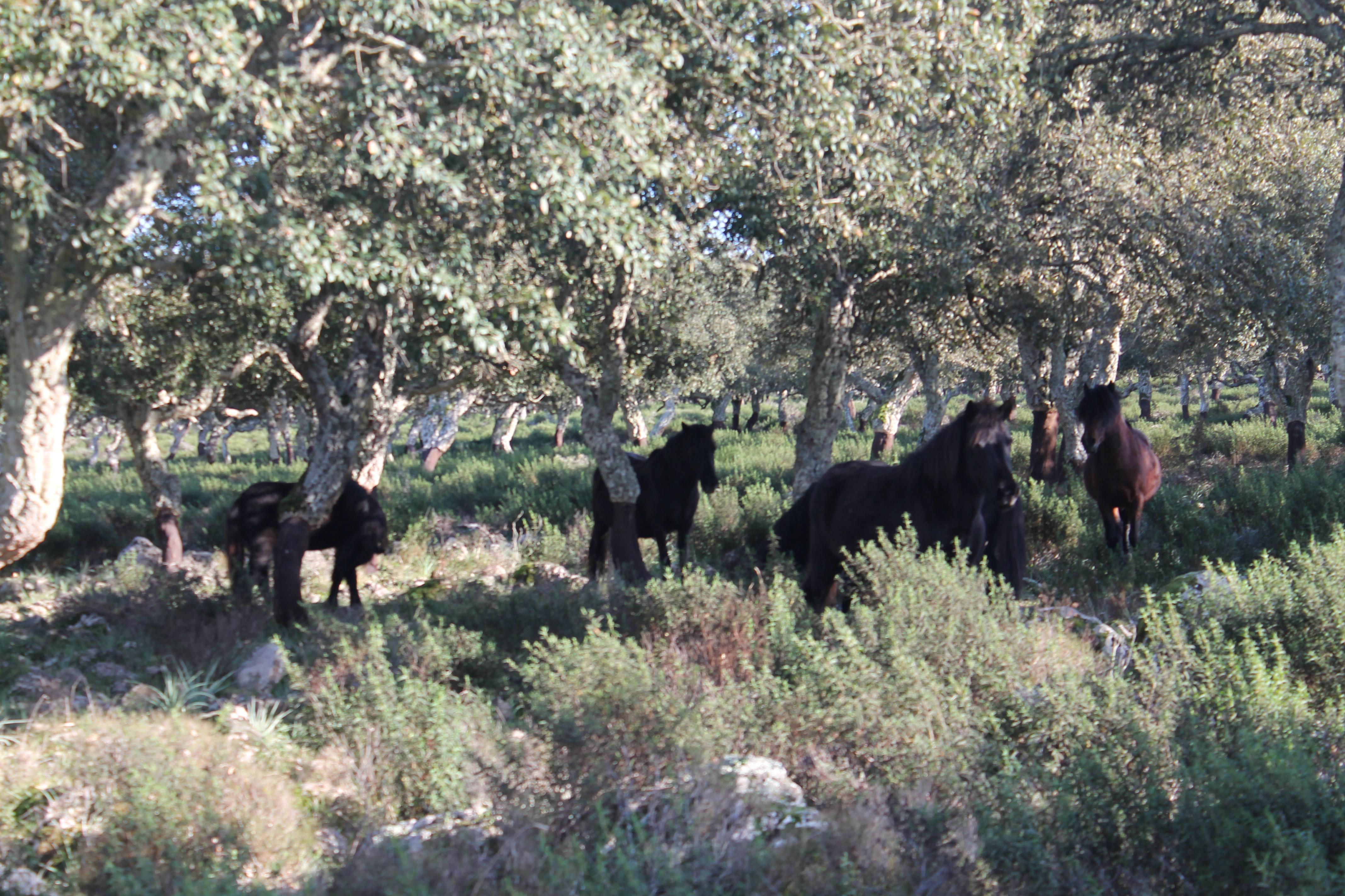 La Giara di gesturi e i suoi cavallini